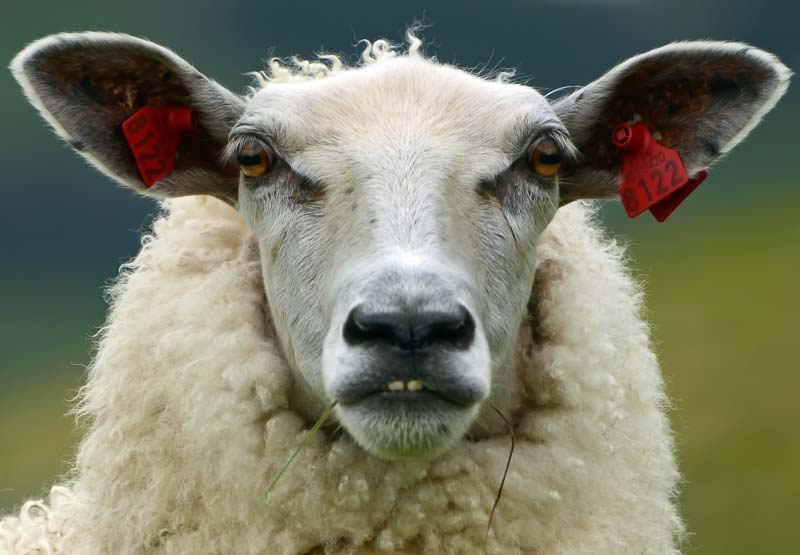 Прикольная картинка овца