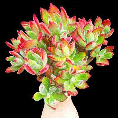 "Succulent Live Plant ""Echeveria pulvinata""#097 Lazy Succu... https://www.amazon.com/dp/B072FQKKMJ/ref=cm_sw_r_pi_dp_U_x_TOpzAbFE6Z28Q"