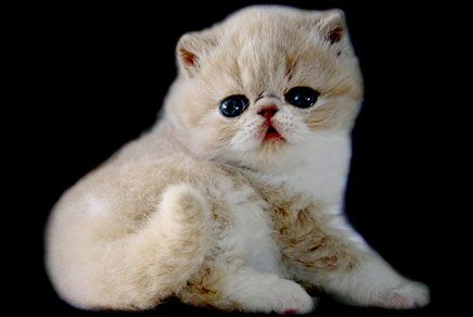 Exotic Shorthair Kittens For Sale Westchester New York NY