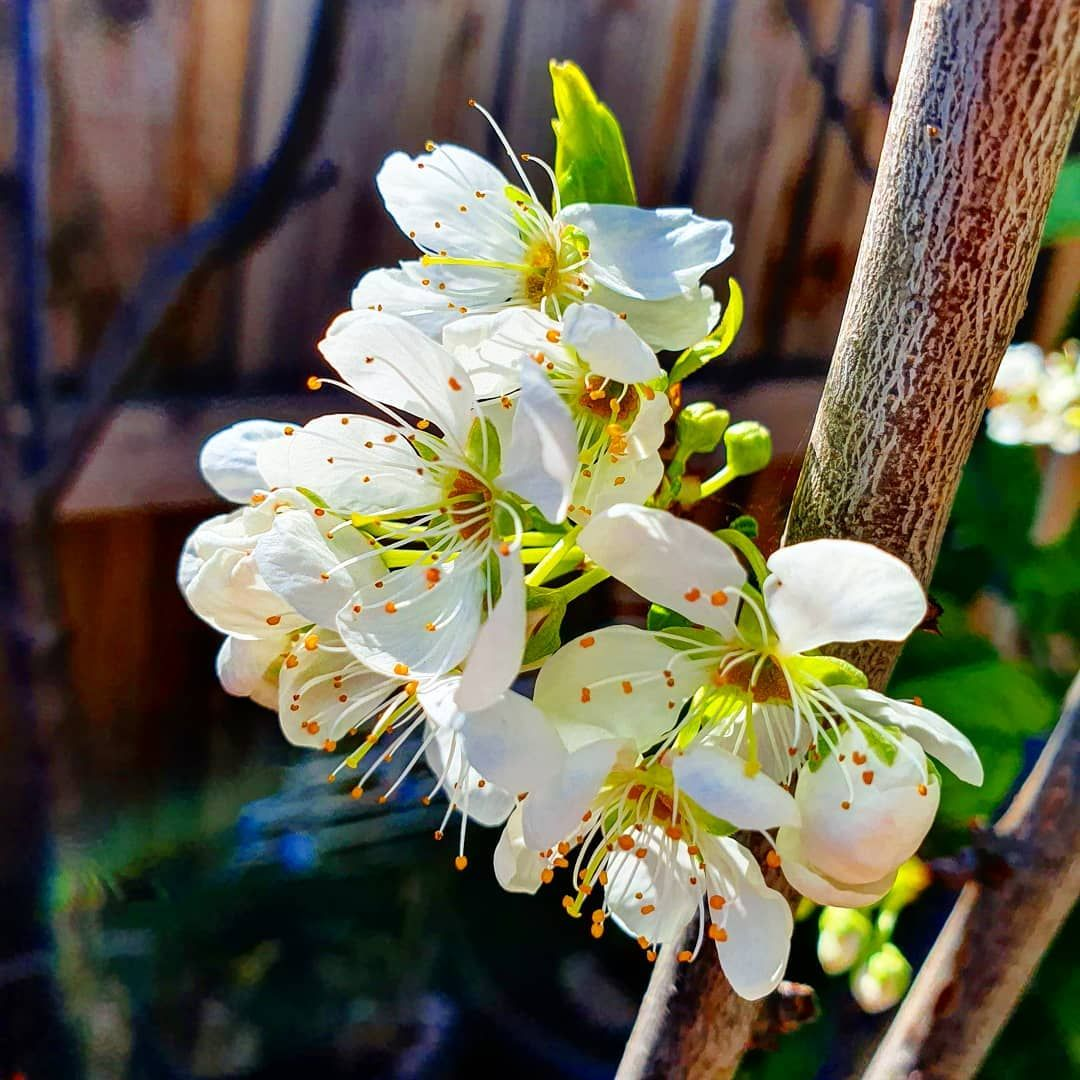 9 55 Gallon White Spring Snow Crabapple Flowering Tree In Pot With Soil L3593 Lowes Com Spring Snow Crabapple Potted Trees Spring Flowering Trees