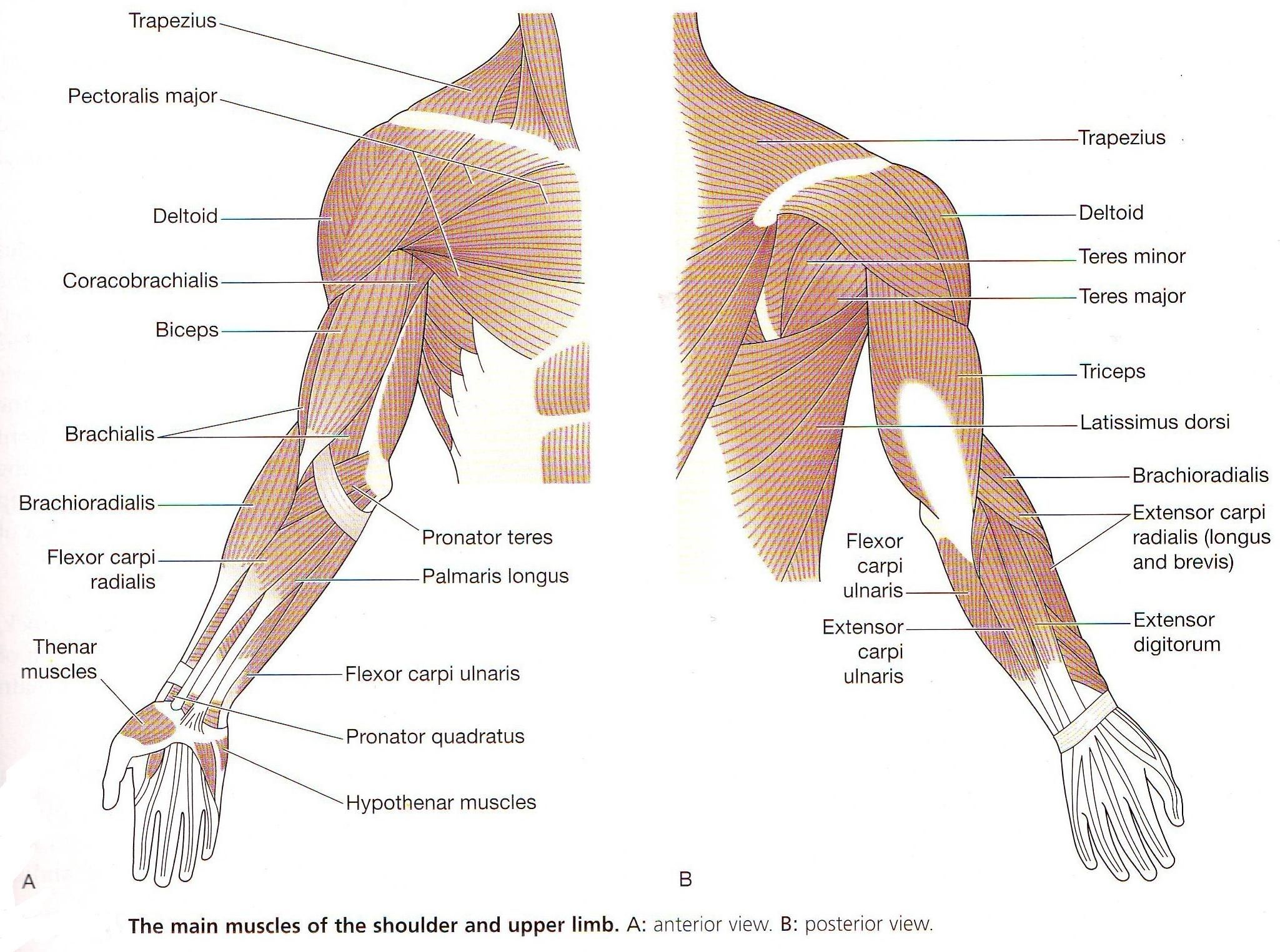 Muscle Label Of The Arm Diagram Anatomy Muscles Body Tag Full Human