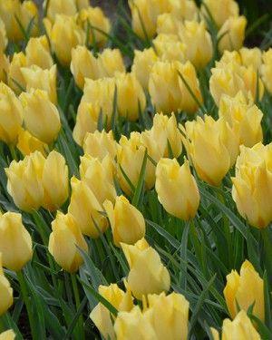 Tulip Battalini Bright Gem | DutchGrown®