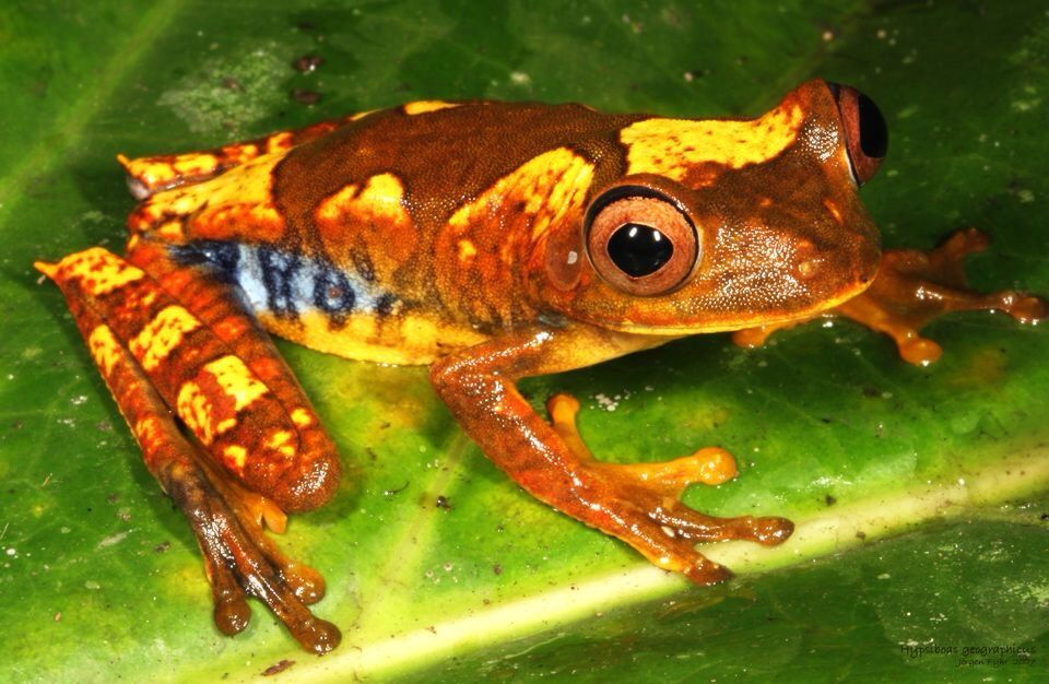 The map tree frog, Hypsiboas geographicus, is a species of