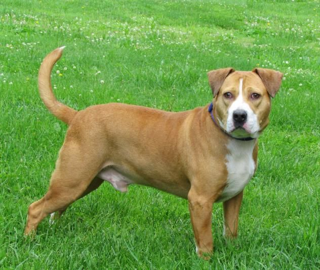 Bogle Dog For Adoption In Batavia Oh Adn 543362 On Puppyfinder