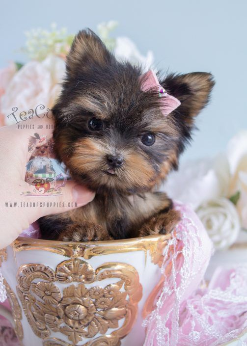 Beautiful Teacup Yorkie By Teacups Puppies Boutique Teacuppuppy Teacupyorkie Teacuppuppies Teacupyorki Teacup Yorkie Puppy Yorkie Puppy Teacup Puppies