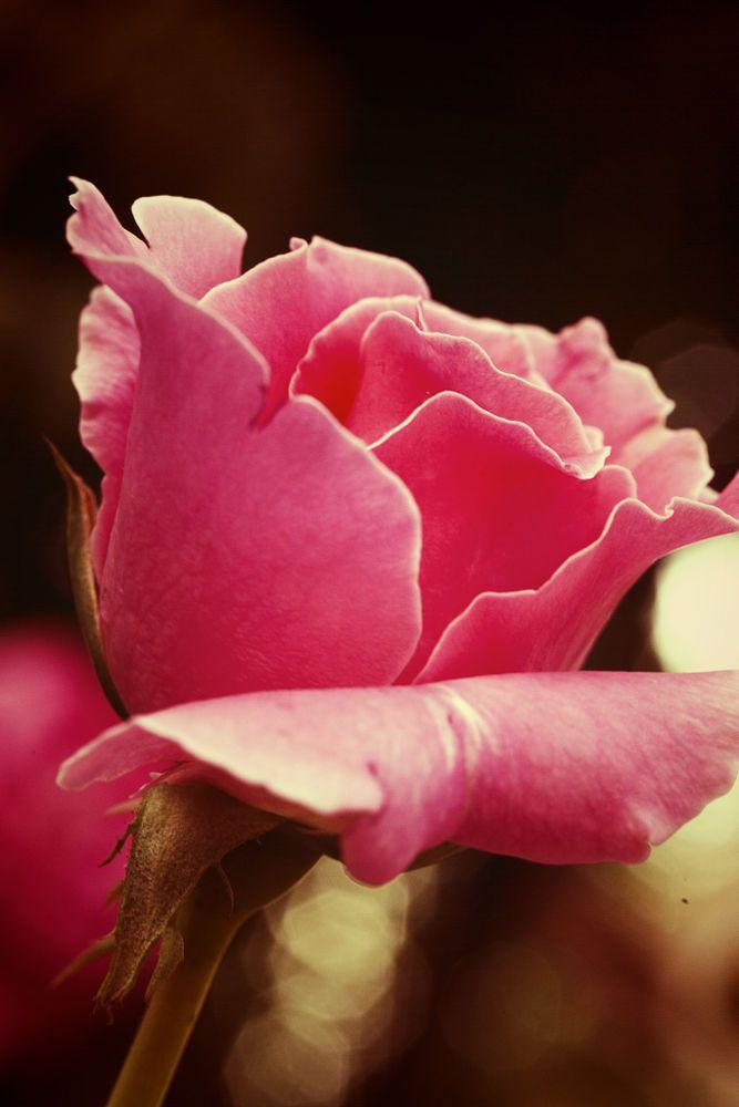 Pink by Arisha Ray Singh on 500px