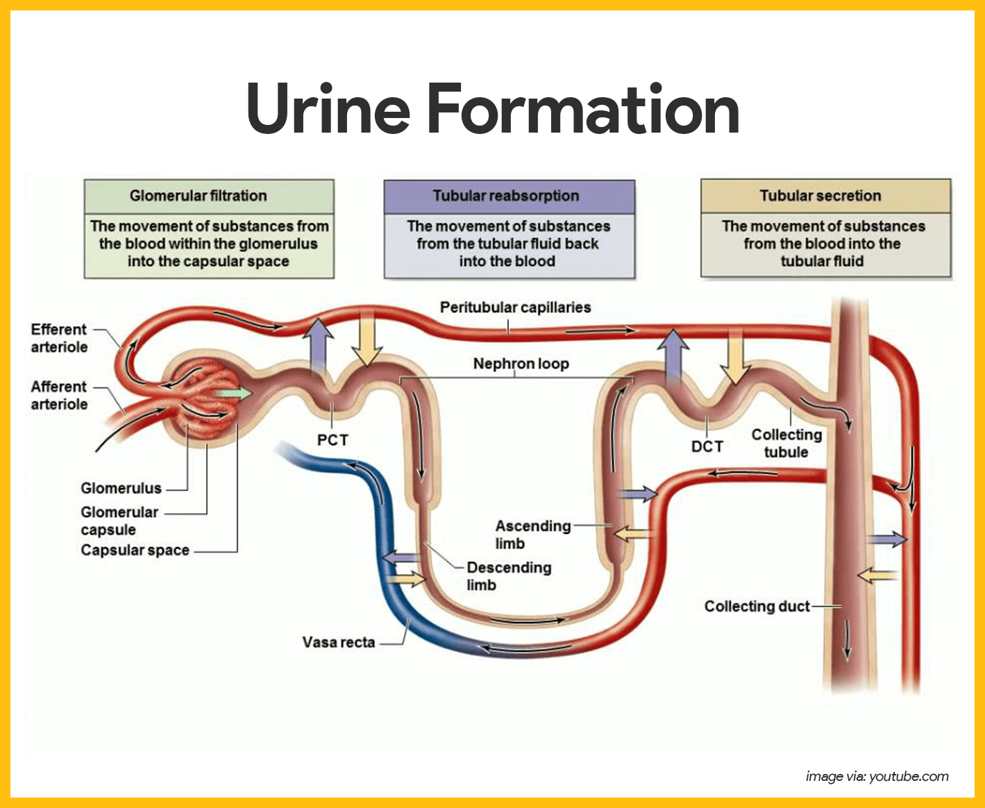 Urinary System Anatomy And Physiology