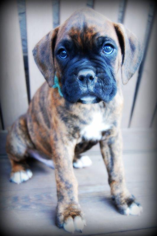 Lincoln Boxers Of Palo Mesa Boxer Dogs Boxer Boxer Love