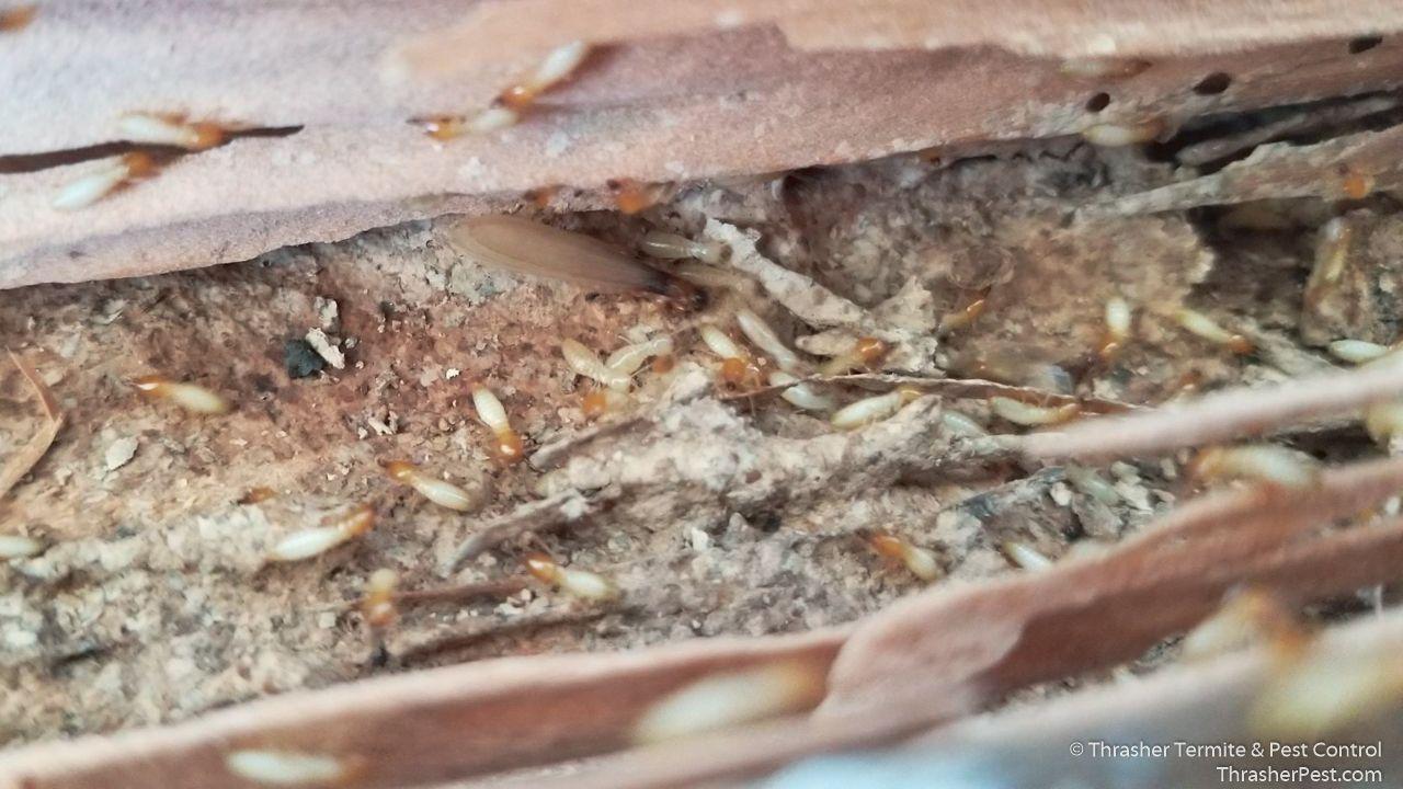 Formosan Subterranean Termite Images Termite Control Termites Termite Treatment