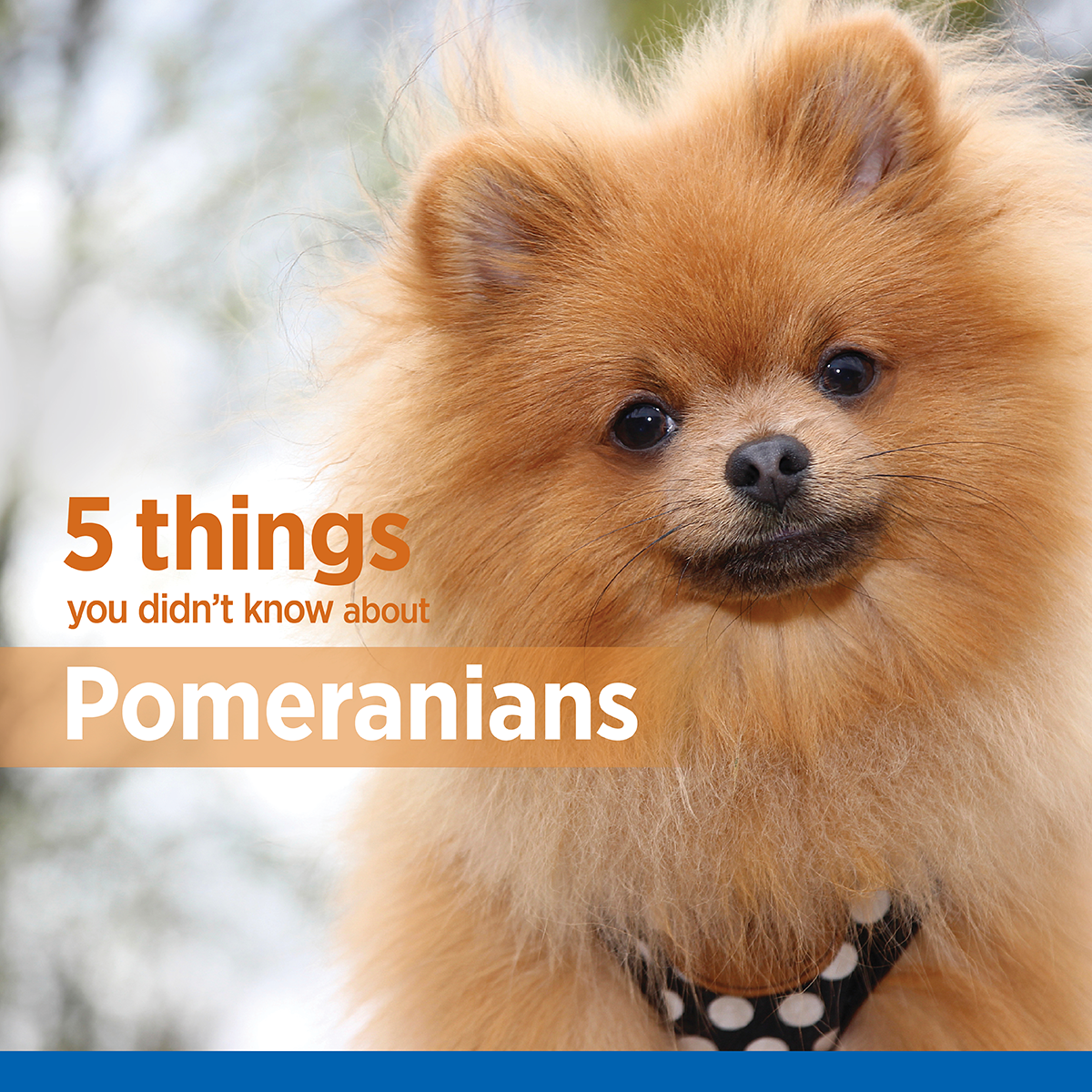 Pom Poms Are A Popular Toy Breed With A Fiesty And Inquisitive