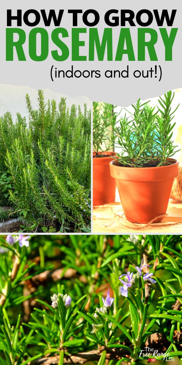 Growing Rosemary In Your Herb Garden Indoors Or Out Growing Rosemary Rosemary Plant Care Growing Herbs Inside