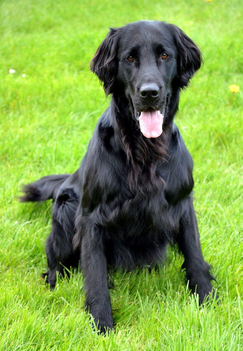 Cute Flat-Coated Retriever dog photo | Suomenpystykorva ...