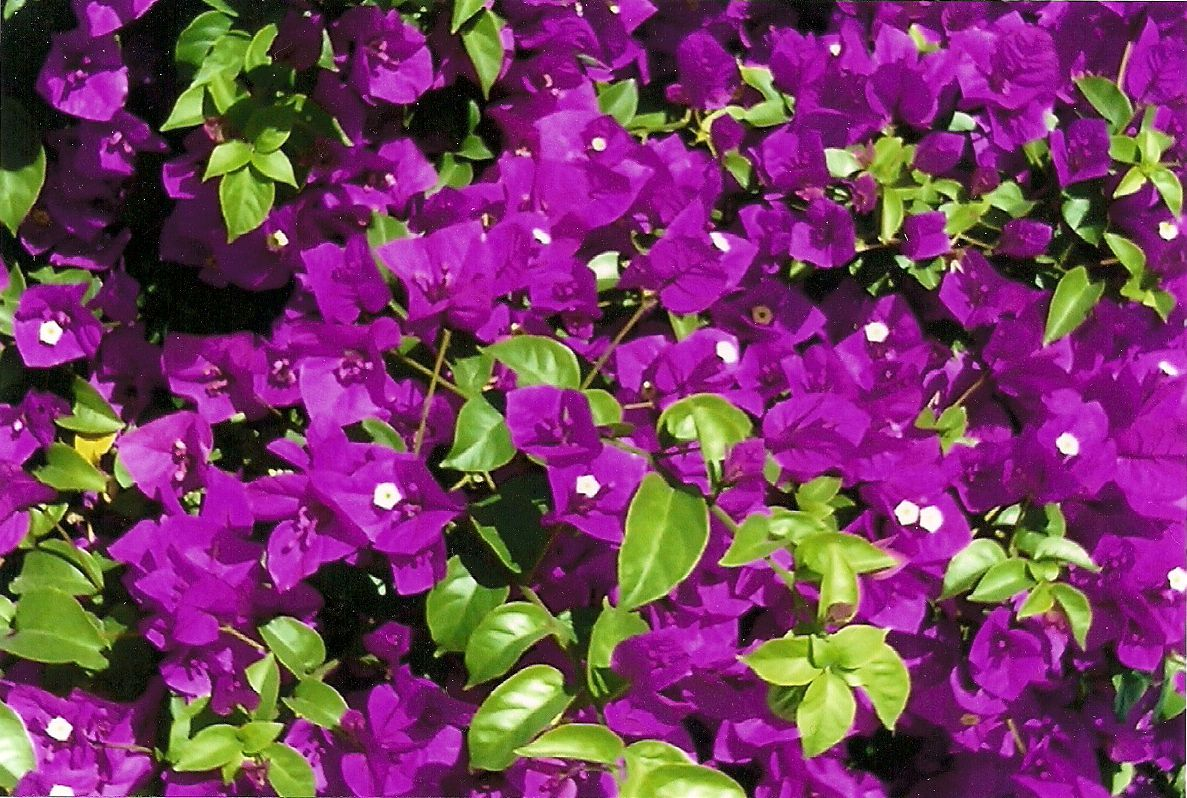 Bright, Beautiful Color On This Bougainvillea! Plant Given Great Big Plants  Alternating With Great · BougainvilleaBig PlantsLandscapingLas Vegas ...