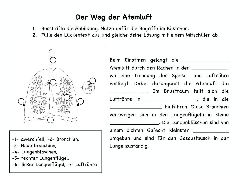 Der Weg der Atemluft AB – Unterrichtsmaterial im Fach Biologie ...