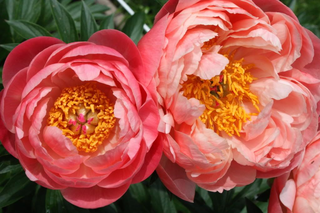 early fall is a great time to plant peonies peony quot coral