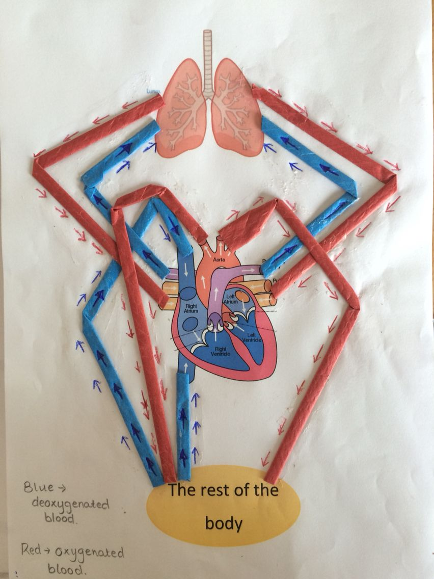 d diagram of the human heart which i am using for a ks classroom the circulatory system ks2