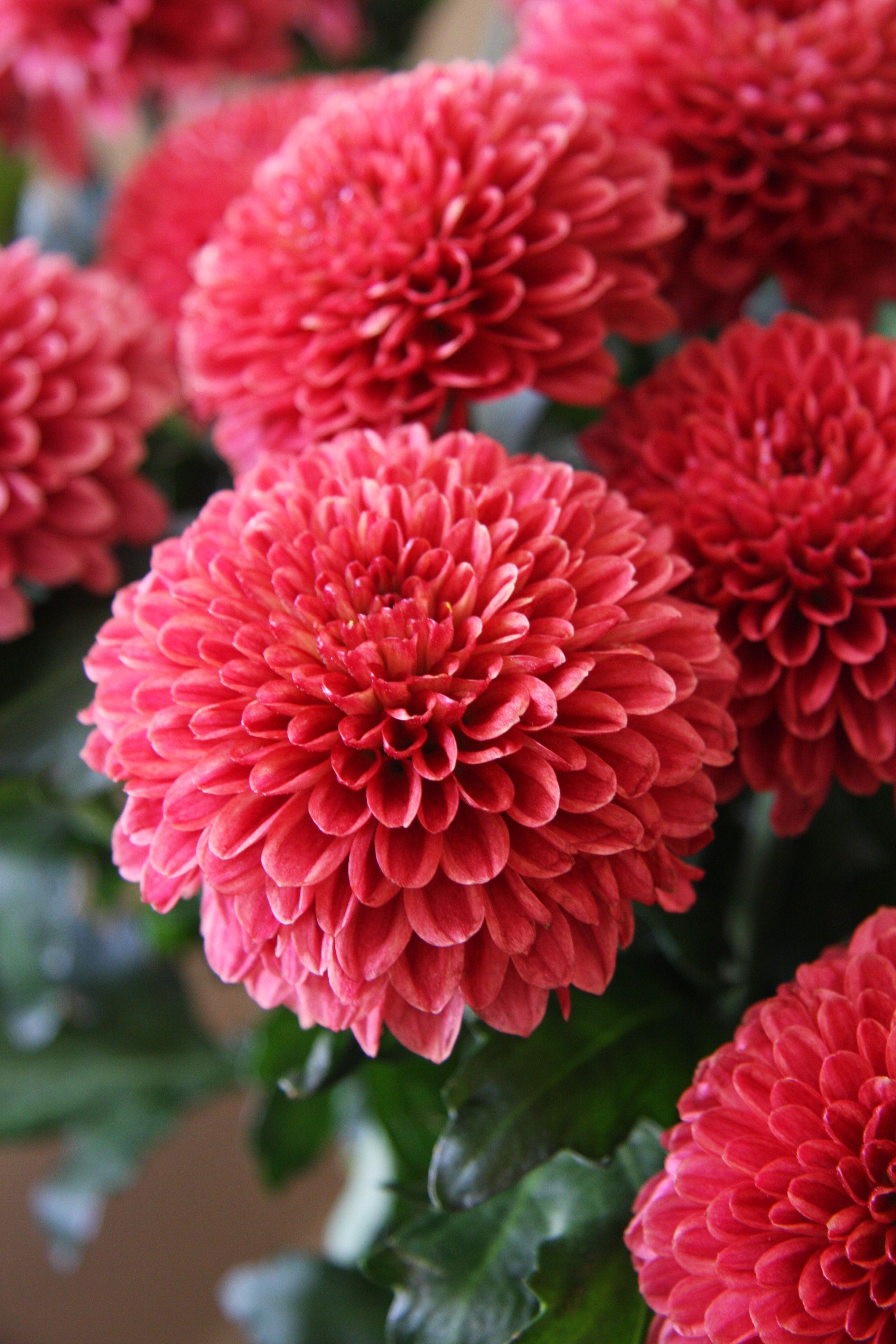 Chrysanthemum Veludo Flowers For My November Babies Nature