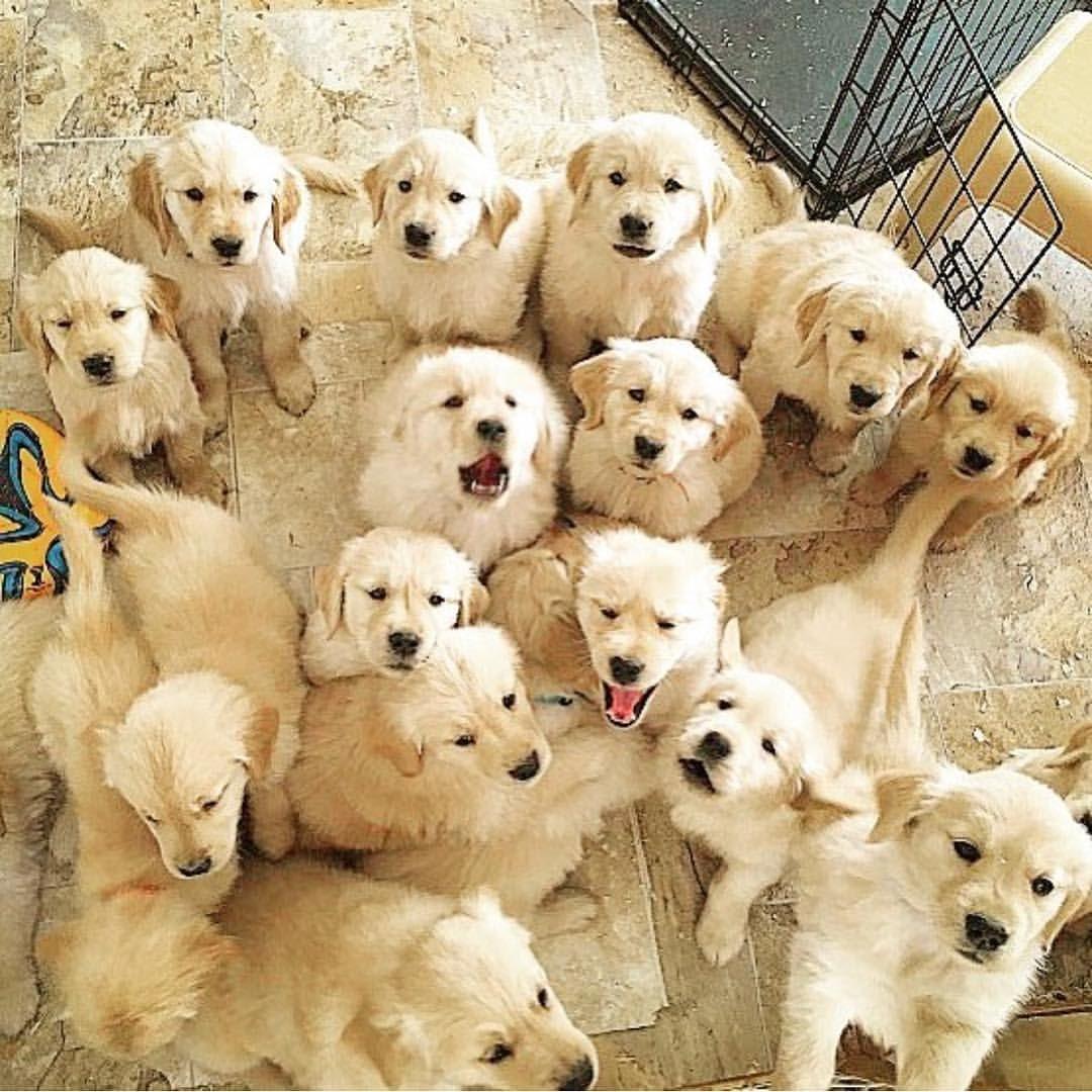 Nugget Goals Macklin Thegolden Gloriousgoldens Puppies Goldenretriever Puppy Dogsofinstagram Dogs Pupsofinstagram Tiere Susseste Haustiere Susse Tiere