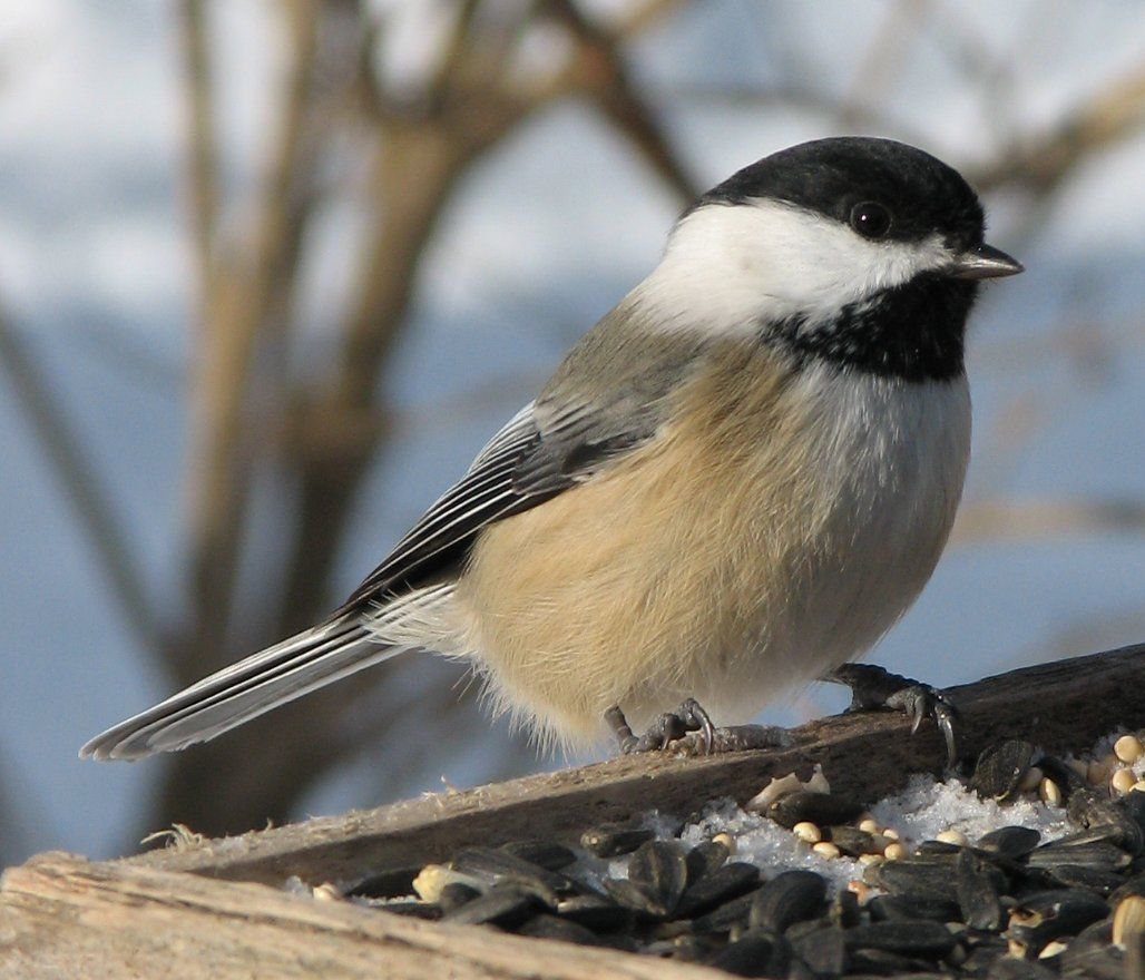 Chickadees-Enjoy The Company Of These Visitors That Are -7981