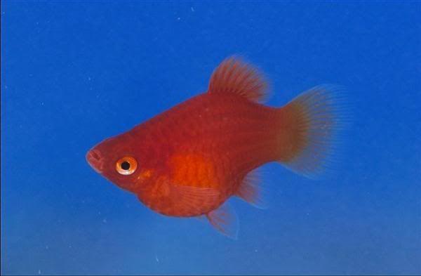 Variedades Platys Juan Luis Platy Fish Betta Fish Fish