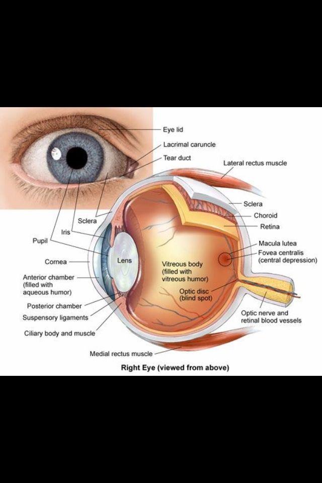 Anatomy of the eye | Nursing School and Education | Pinterest ...
