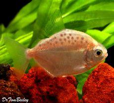 Silver Dollar Fish Aquarium Fish Tropical Fish Freshwater Aquarium Fish