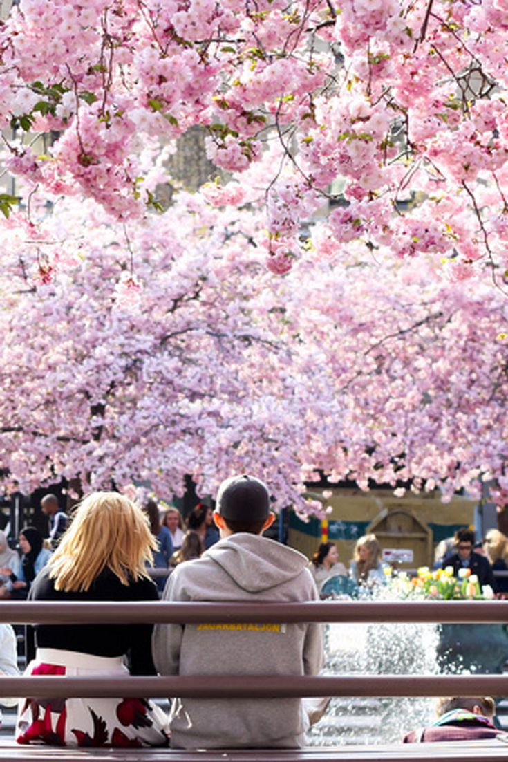 Where To See Cherry Blossoms In Sweden Cherry Blossom Spring Scenery Sweden