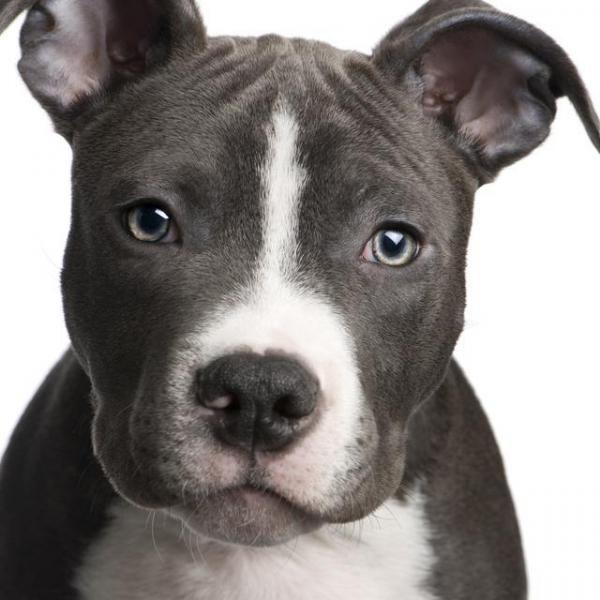 Nomi Per Cani Pitbull Razze Di Cani Bull Terrier Puppy Pitbull