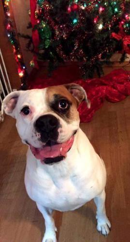 Bulloxer dog for Adoption in Saint Louis, MO. ADN402317