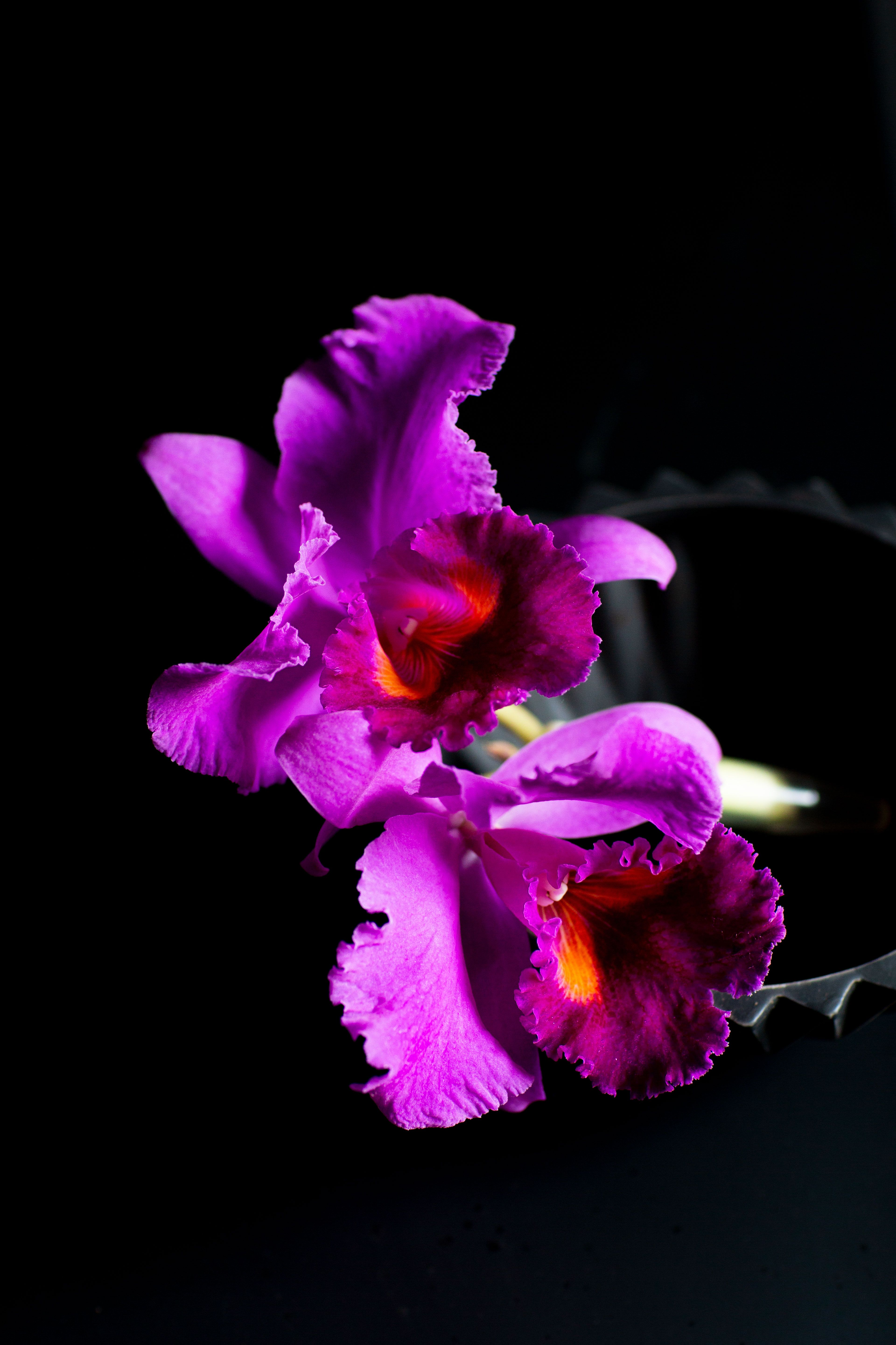 Cattleya Orchid Flowers Photography Floral Event Design Still Life Photographers