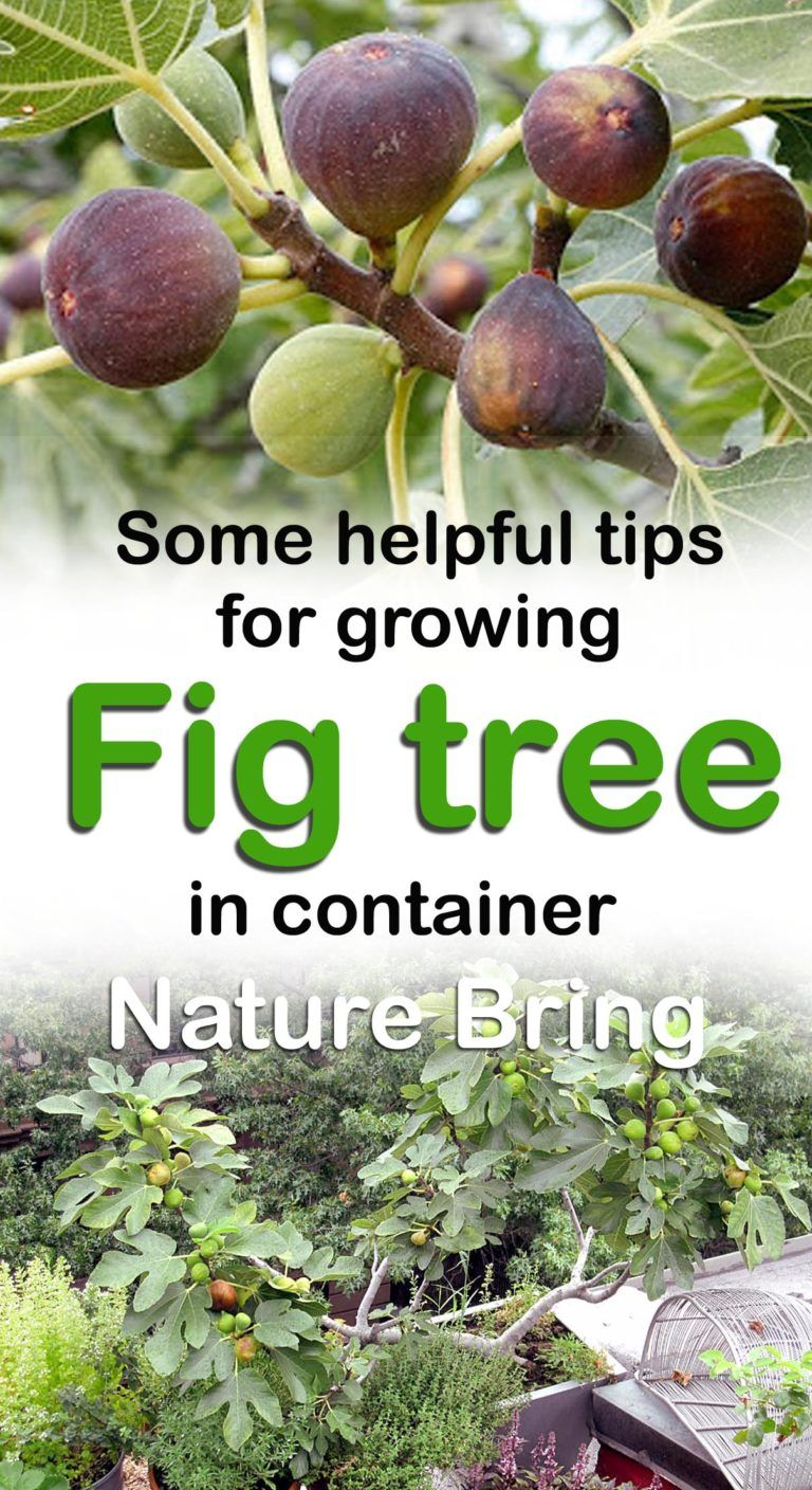 How To Grow Fig Trees In Pot Growing Fig Figs Care Fig Plant Fruit Trees In Containers Fig Tree