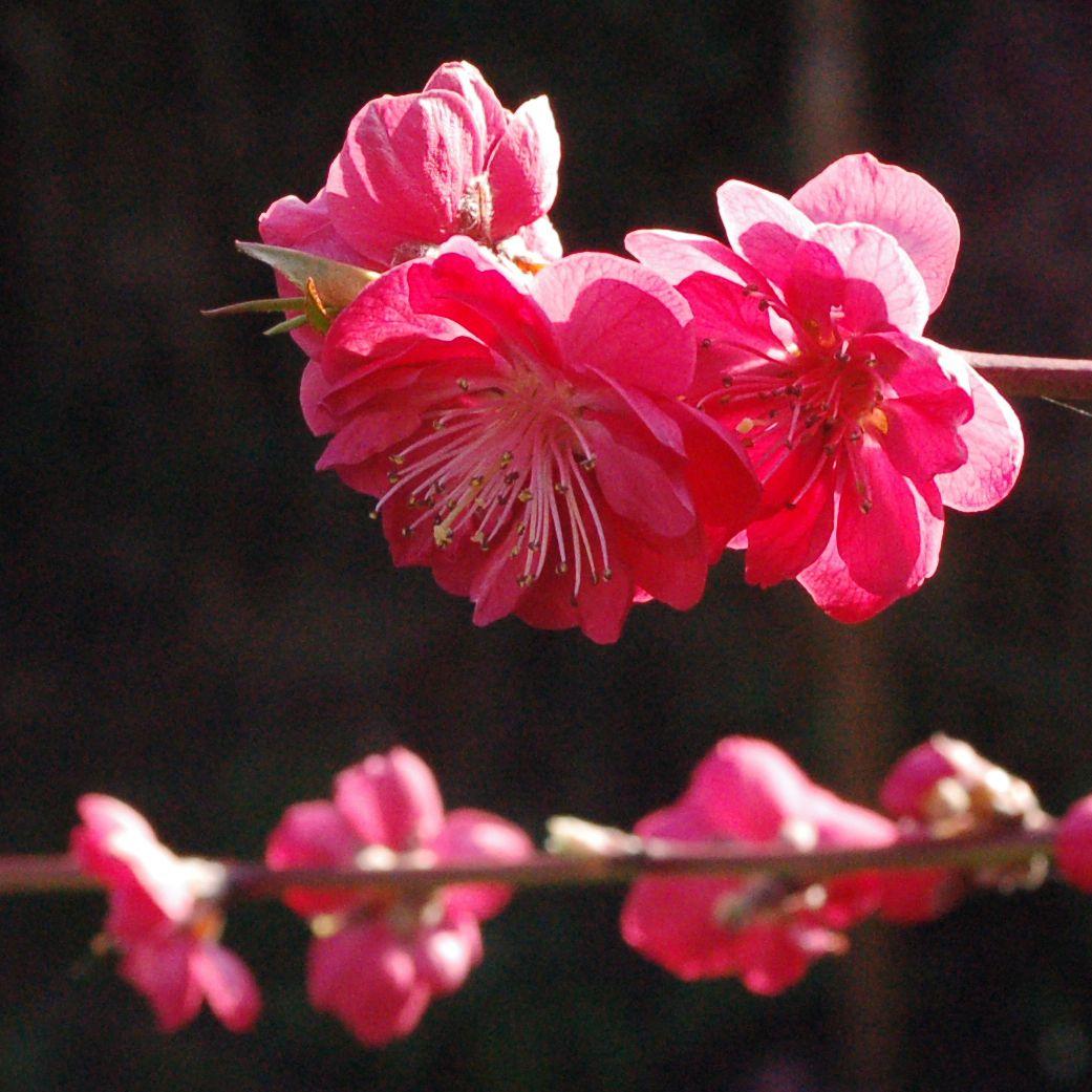 Peach tree blossom in the garden of Silvia Dekker. Follow me on Instagram for more garden pictures: @silviadekker