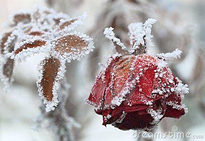 frozen-rose-18071281.jpg