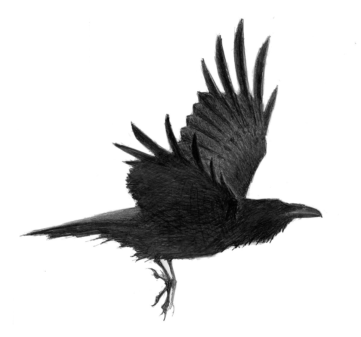 Raven Flying Drawing