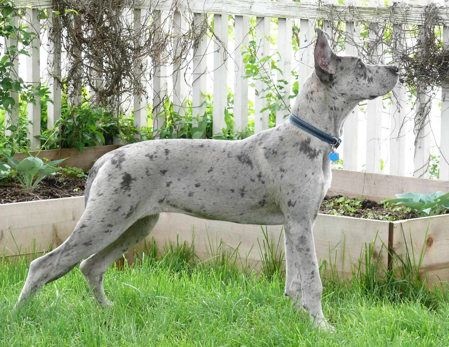 Strike A Pose 6 Month Old Silver Merle Great Dane Merle Great