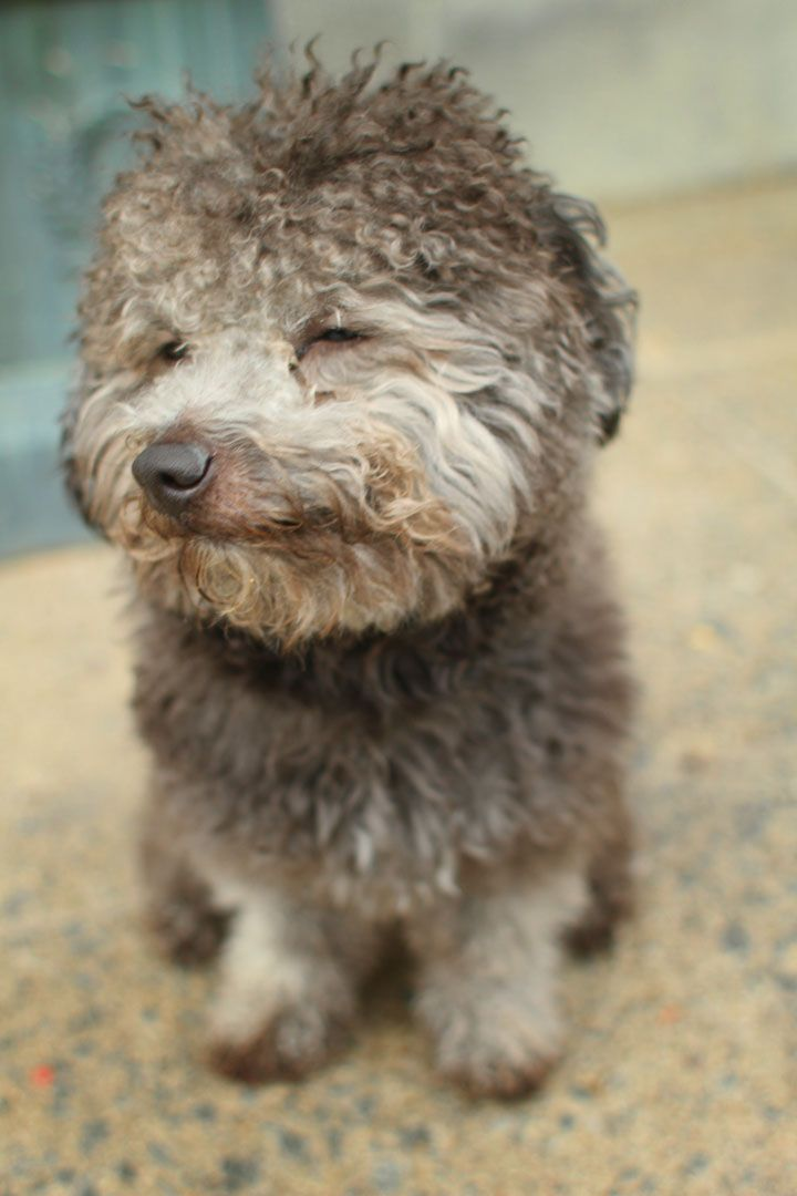 Pin By Emily Coll On Gris Og Ged Poodle Mix Puppies German Shepherd Poodle Mix Puppy Photos