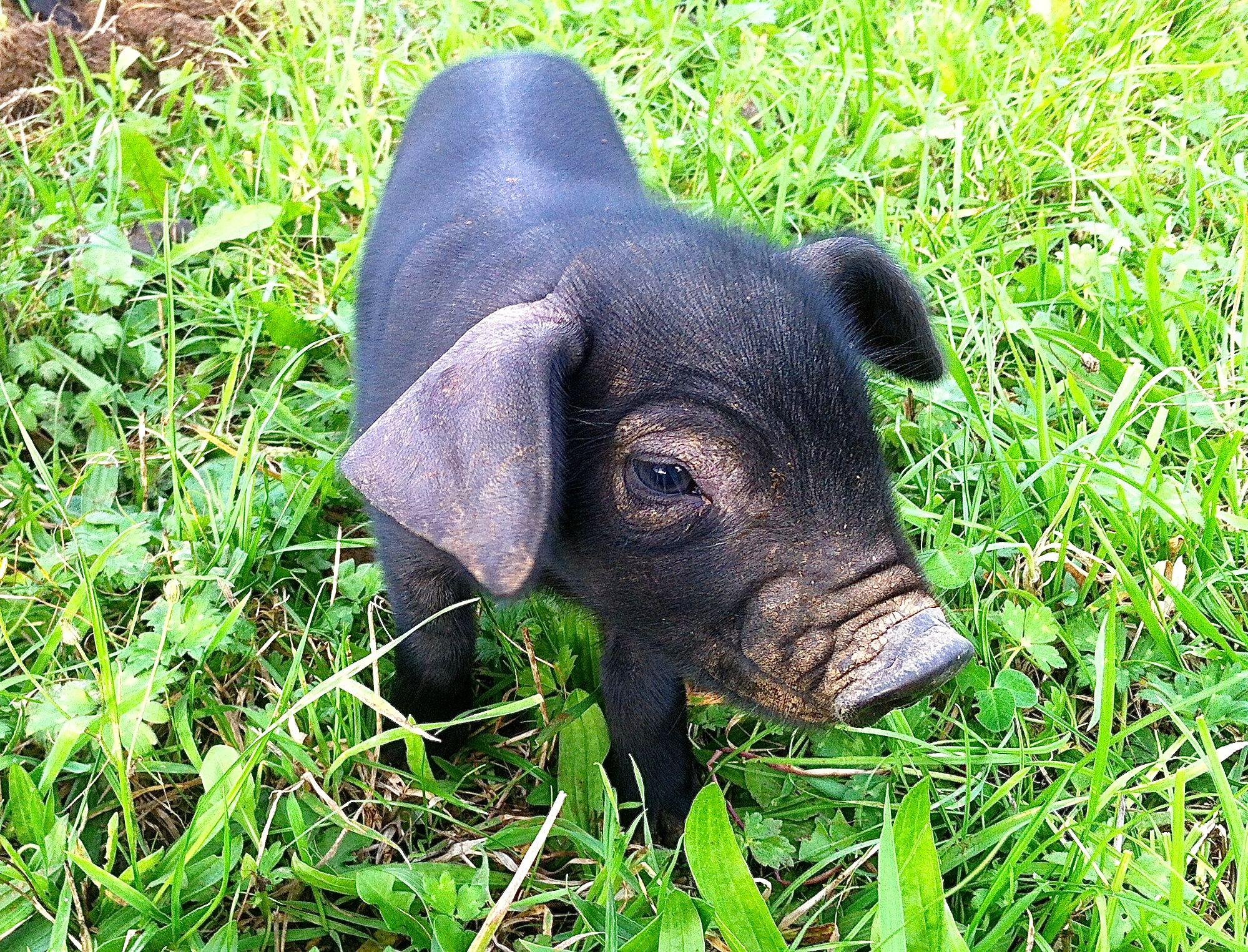 Large Black Piglet Large Black Is The Breed