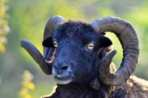 Image gratuite sur Pixabay - Bélier, Mouton, Noir, Animal | Mouton ...