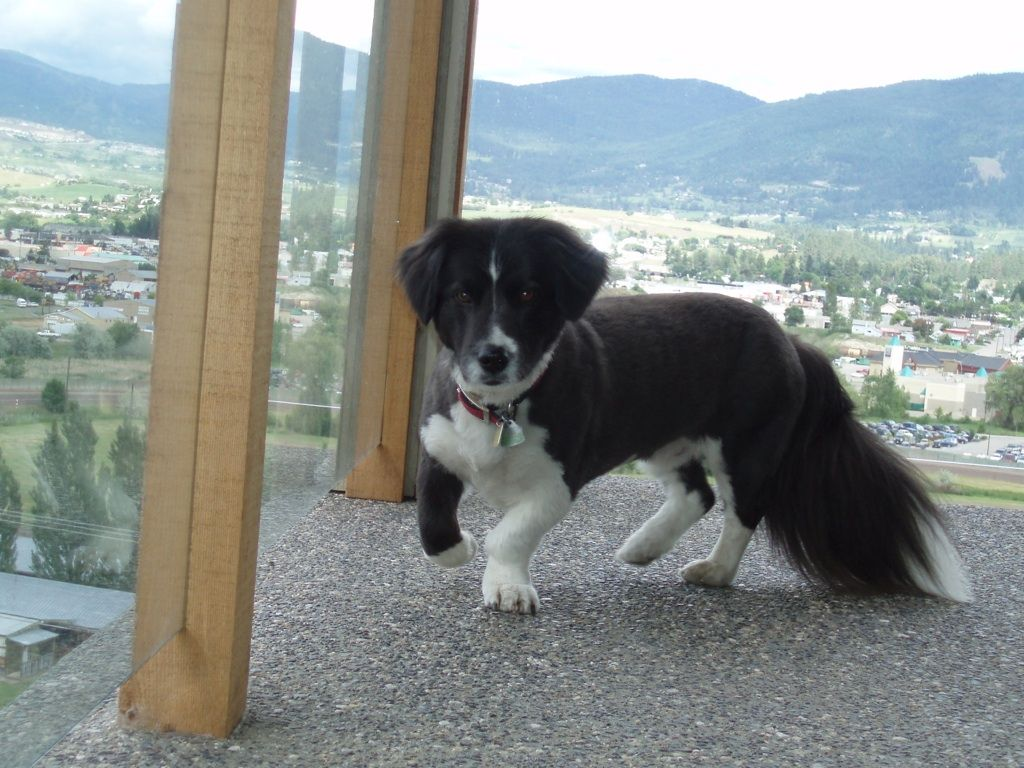 Bali, the incredible Border Collie/ Basset Hound cross ...