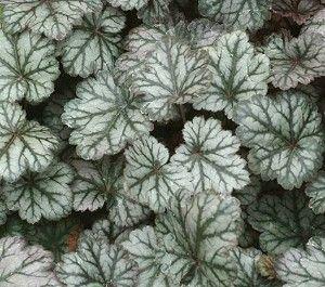 Heuchera Rave On Heuchera Shade Plants Plants