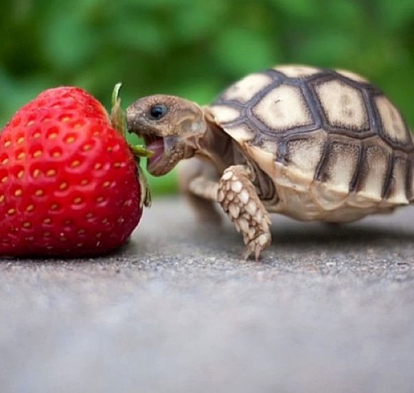 Baby turtle having a snackski