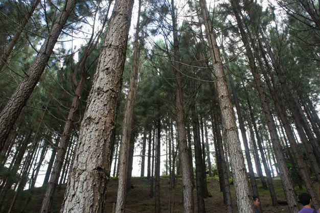 Pines Trees of Bukidnon, Philippines