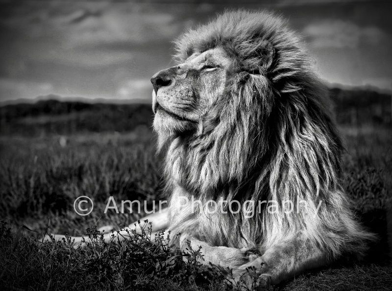 Lion by Amur Photography