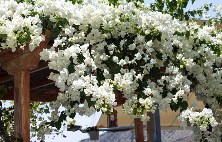 Les arbustes à fleurs blanches