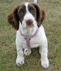 Image result for English springer spaniel mix