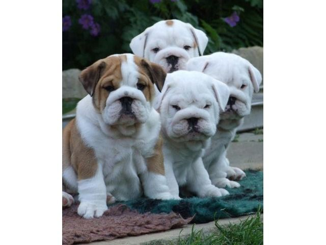 Adorable English Bulldog Puppies For A New Homes Dallas