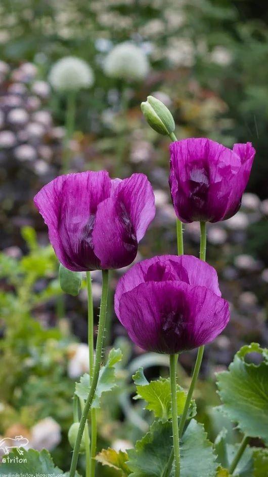 Pavots Magenta Petals Poppies Purple Poppies Flowers