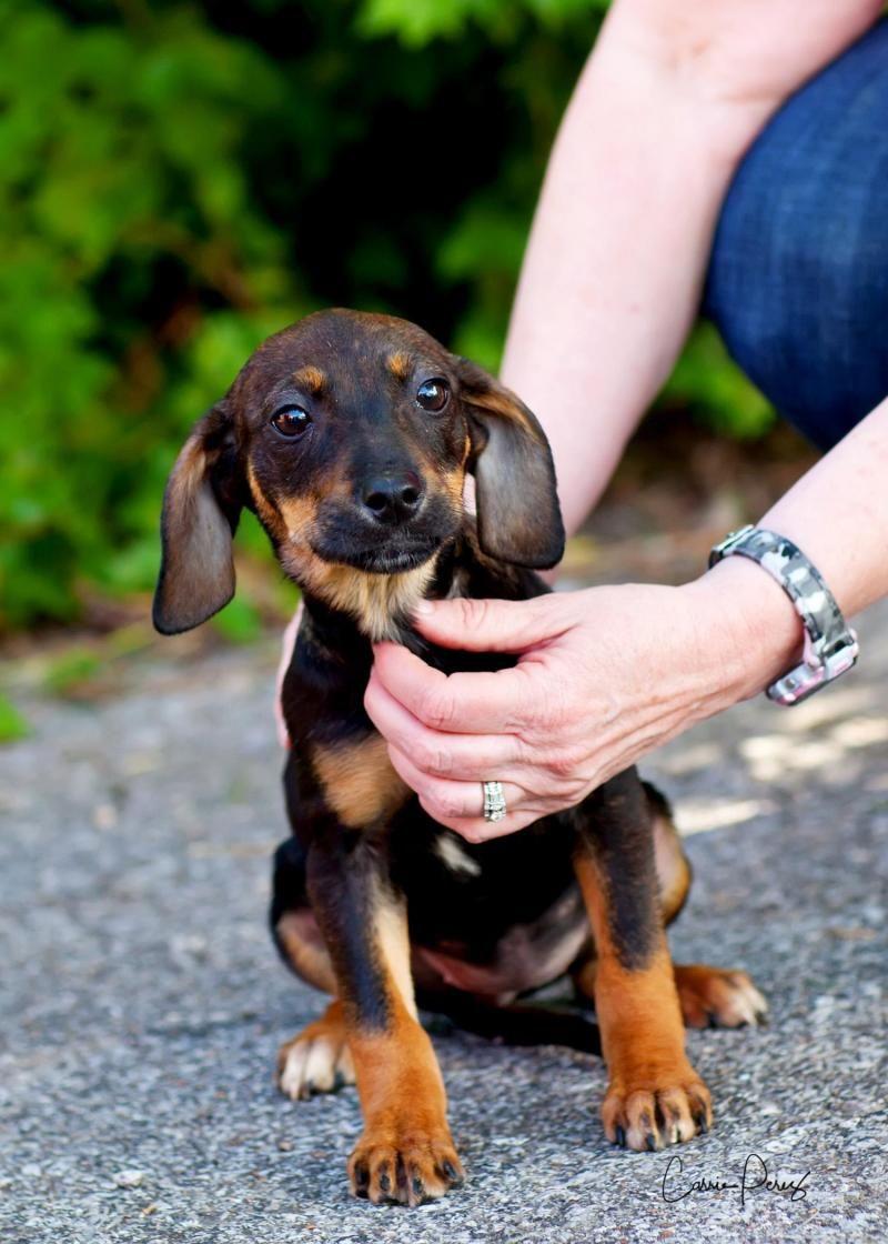 Adopt Mason On Australian Cattle Dog Pets Dachshund