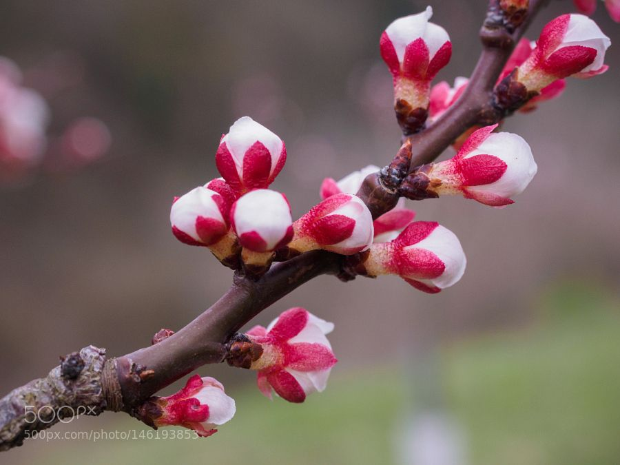 Apricot blossom by inner-peace. @go4fotos