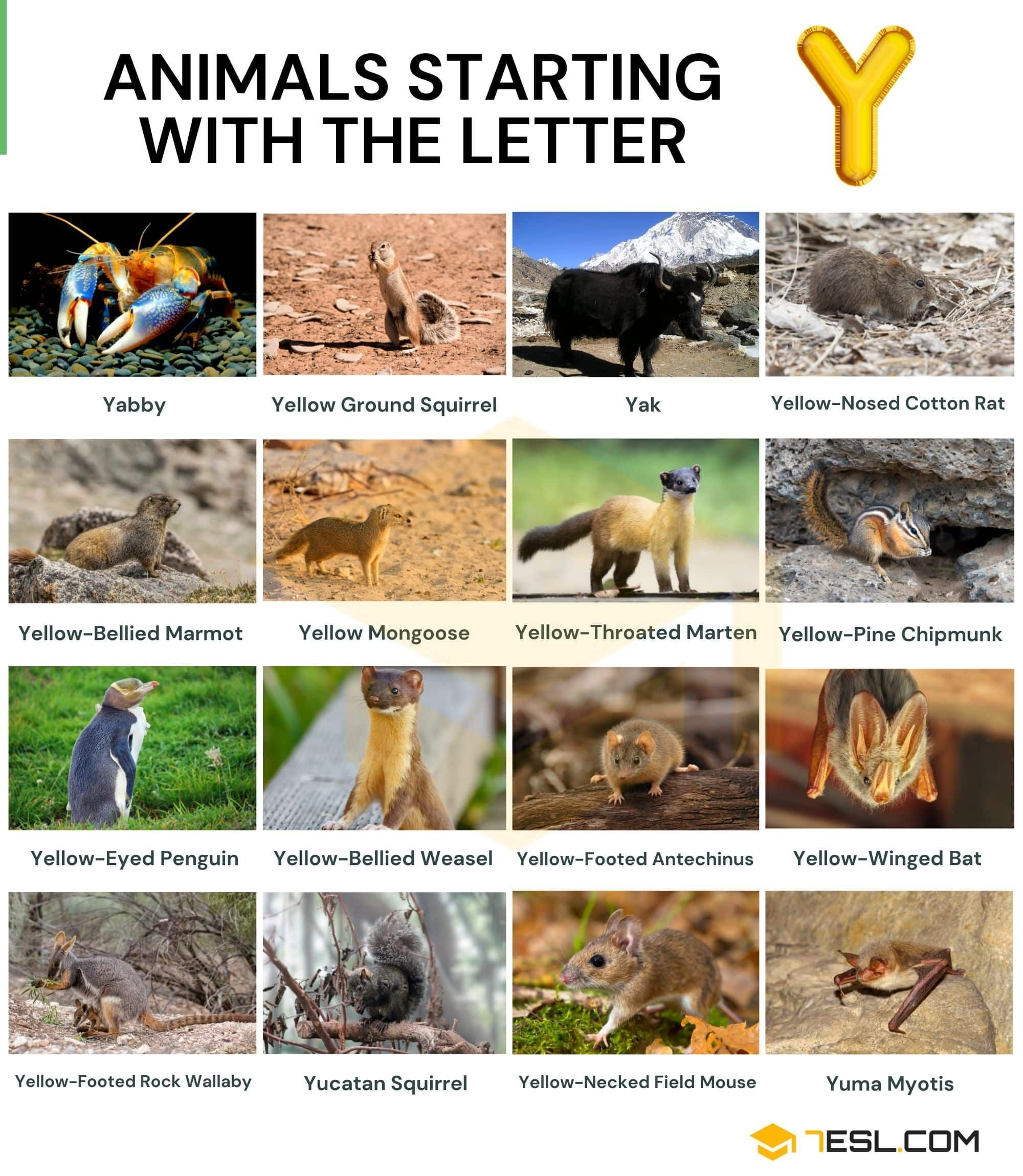 Animals That Start With Y Cool Names Of 17 Animals Starting With Y 7esl In 2021 Animals Starting With Y Animals Animal Flashcards